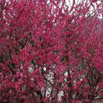 【福崎町】梅が満開|西田原