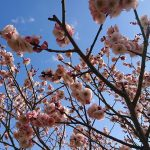 【加西市】青空に映える、赤や白、ピンクの梅