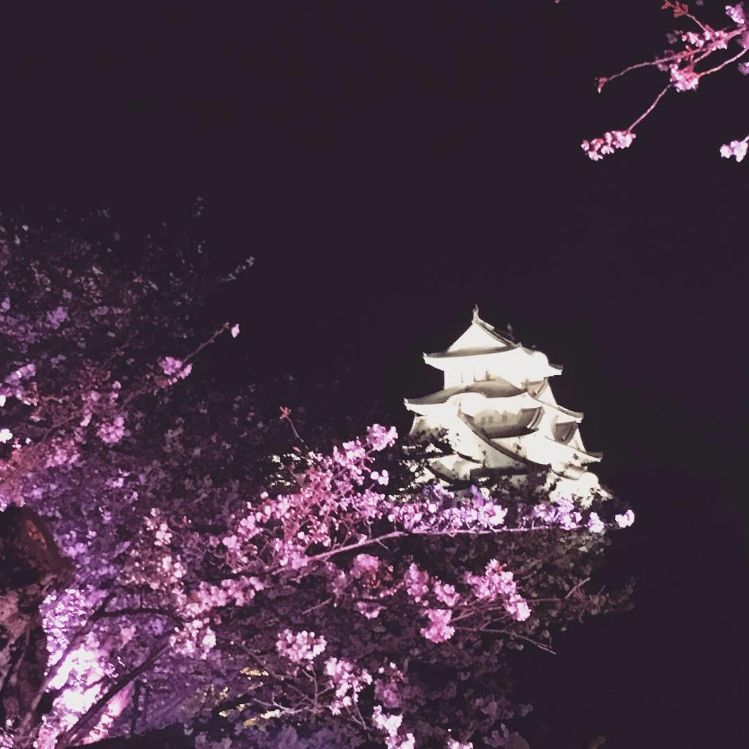 姫路城夜桜