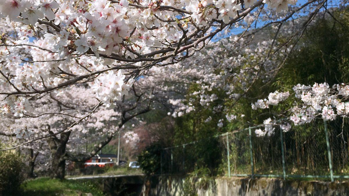桜 屋形地区 市川沿い
