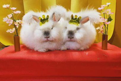 【神河町】桃の節句、雛祭り アンゴラウサギがお雛様に