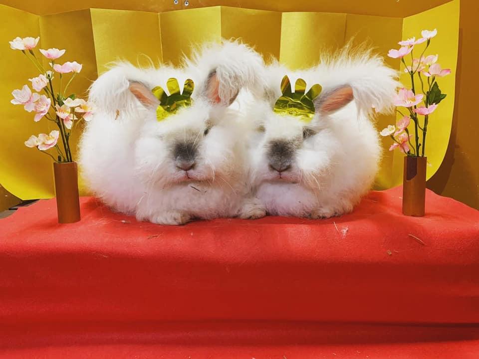 【神河町】桃の節句、雛祭り|アンゴラウサギがお雛様に