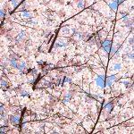 【神河町】かみかわ桜の山 桜華園|早咲きの河津桜などが既に綺麗に