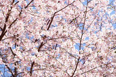 【神河町】かみかわ桜の山 桜華園 早咲きの河津桜などが既に綺麗に