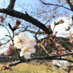 【朝来市】桜が開花。一週間ほど早く
