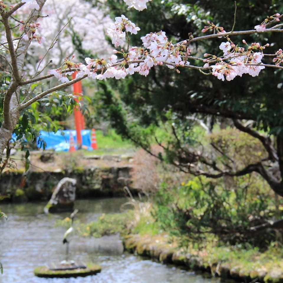 【多可町】大歳金刀比羅神社の桜が満開|中区鍛冶屋