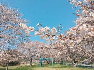 【福崎町】桜児童ふれあい広場のサクラが見ごろ