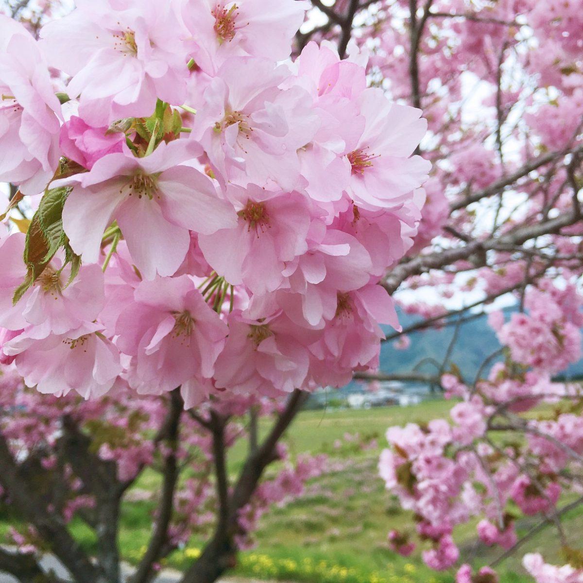 【神河町】十重に二十重に、牡丹桜(ボタンザクラ)が満開 加納