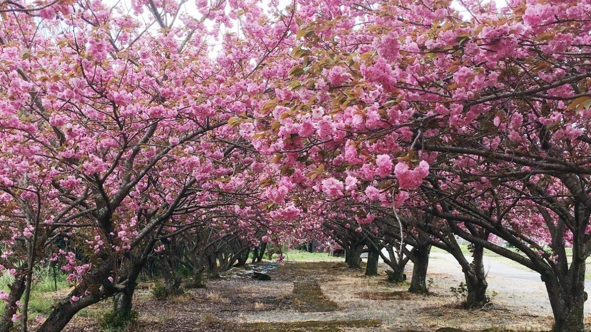【神河町】十重に二十重に、牡丹桜(ボタンザクラ)が満開|加納