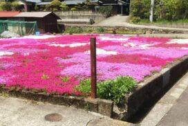 【神河町】思わず見とれる芝桜(シバザクラ)が花ざかり