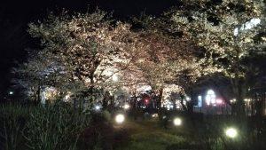 【宍粟市】夢公園の桜をライトアップ 4月13日まで
