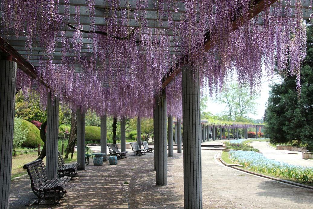 【加西市】藤の花が見ごろに。臨時休園中のフラワーセンター