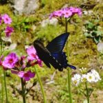 【市川町】最近、黒い蝶をよく見かけます