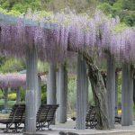【加西市】フジの花が見ごろに。臨時休園中のフラワーセンター