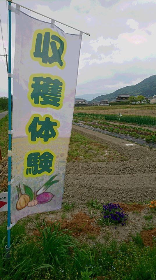 【市川町】町の駅「花と実りの駅」でいちご狩り|苺収穫体験が5月中旬頃から