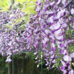 【神河町】藤の香りと水の流れる音と。山間のカーブで藤の花が見ごろ|大河