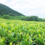 【神河町】「仙霊茶」300年の歴史をつむぐ茶園と吉冨製茶工場|アポ無し凸シリーズ