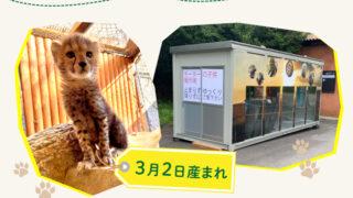 【姫路市】チーターの赤ちゃん「しばふちゃん」登場|姫路セントラルパーク