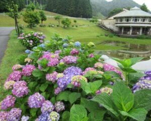 【神河町】猪篠区内で見れる約8000株の紫陽花がまもなく見頃
