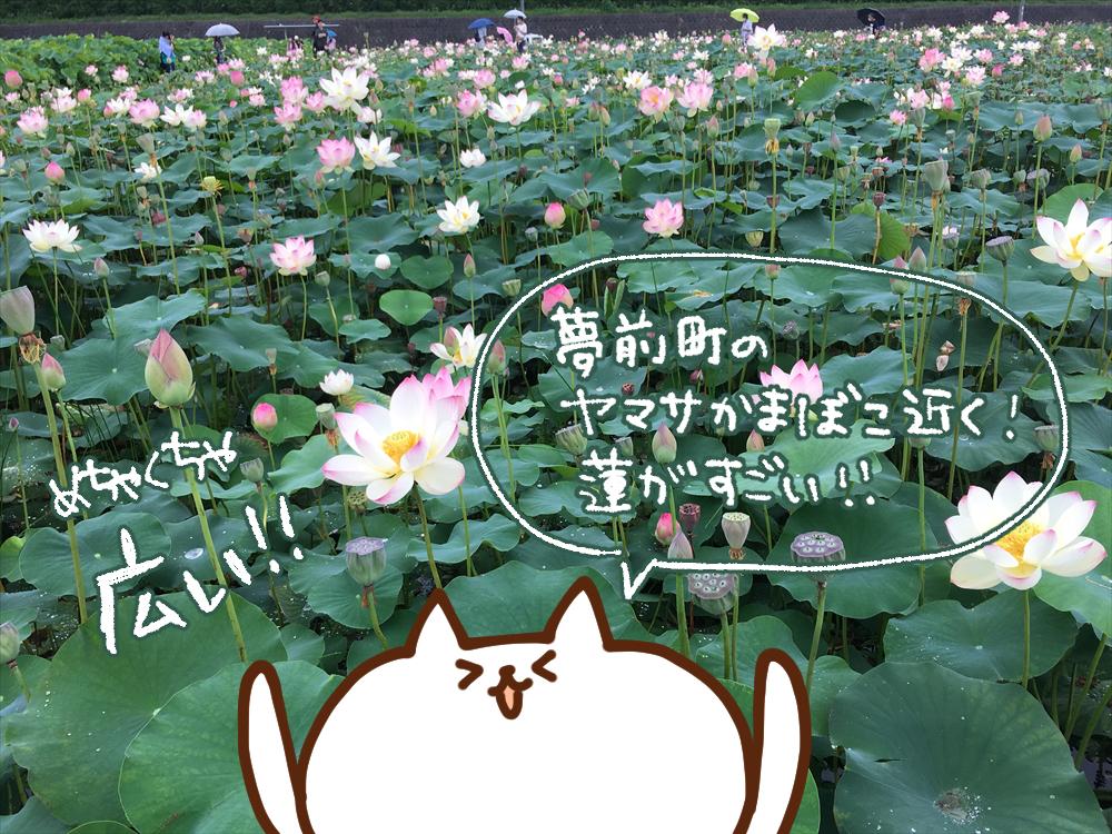 【姫路市】蓮の花苑 ヤマサ蒲鉾株式会社 12000平方メートルの蓮池