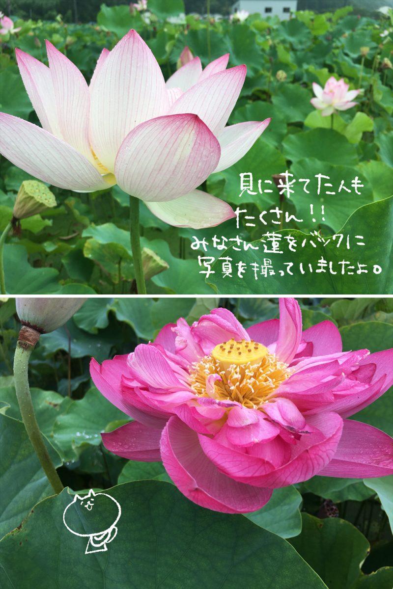 【姫路市】蓮の花苑|ヤマサ蒲鉾株式会社|12000平方メートルの蓮池