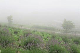 【多可町】園内は霧がかかって幻想的な感じ|ラベンダーパーク多可