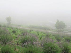 【多可町】園内は霧がかかって幻想的な感じ ラベンダーパーク多可