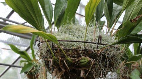 【加西市】スタンホペア・ティグリナ(Stan. tigrina)が開花|兵庫県立フラワーセンター