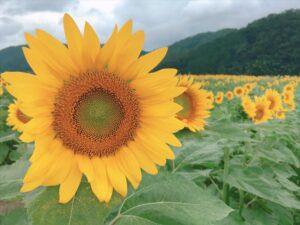 【作用町】南光地区で「ひまわり畑」開園 2020年はイベント中止。でも行ってきた