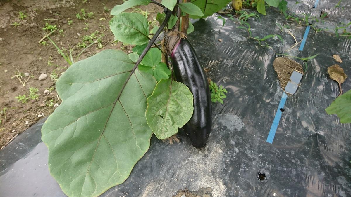 【市川町】めざせ500gオーバー!トウモロコシの直売開始|かまださん家のぶどう園