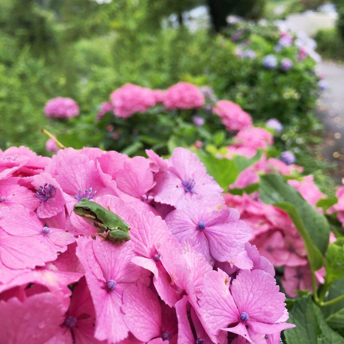 あつもり 紫陽花