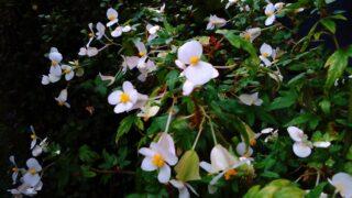 ベゴニア展|手柄山温室植物園