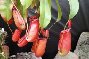 食虫植物展|手柄山温室植物園