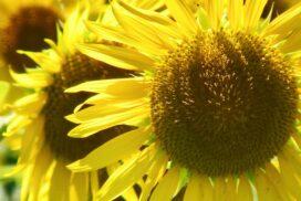 【市川町】町花ひまわりを見に行こう!向日葵畑が拡大中