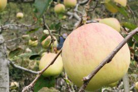 【宍粟市】原観光りんご園オープン 2020|16品種、約1100本のリンゴがつぎつぎ実る