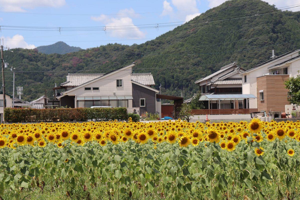 小谷ひまわり畑