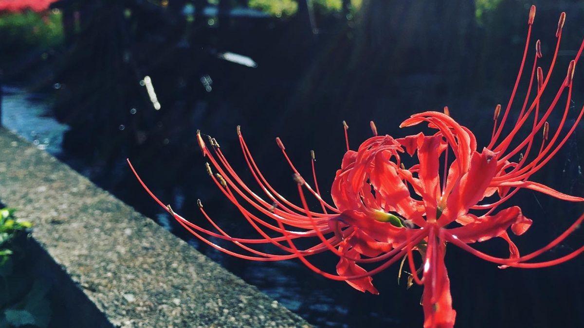 【ヒガンバナ】つきぬけて天上の紺曼珠沙華|地域の彼岸花スポットをまとめたい