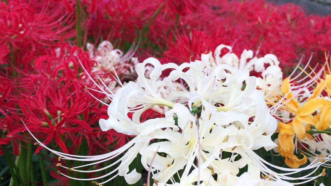 【多可町】初秋の風物詩、曼珠沙華(彼岸花)|中区間子