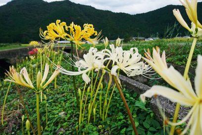 【多可町】初秋の風物詩、曼珠沙華(彼岸花)彩り豊かに|中区間子