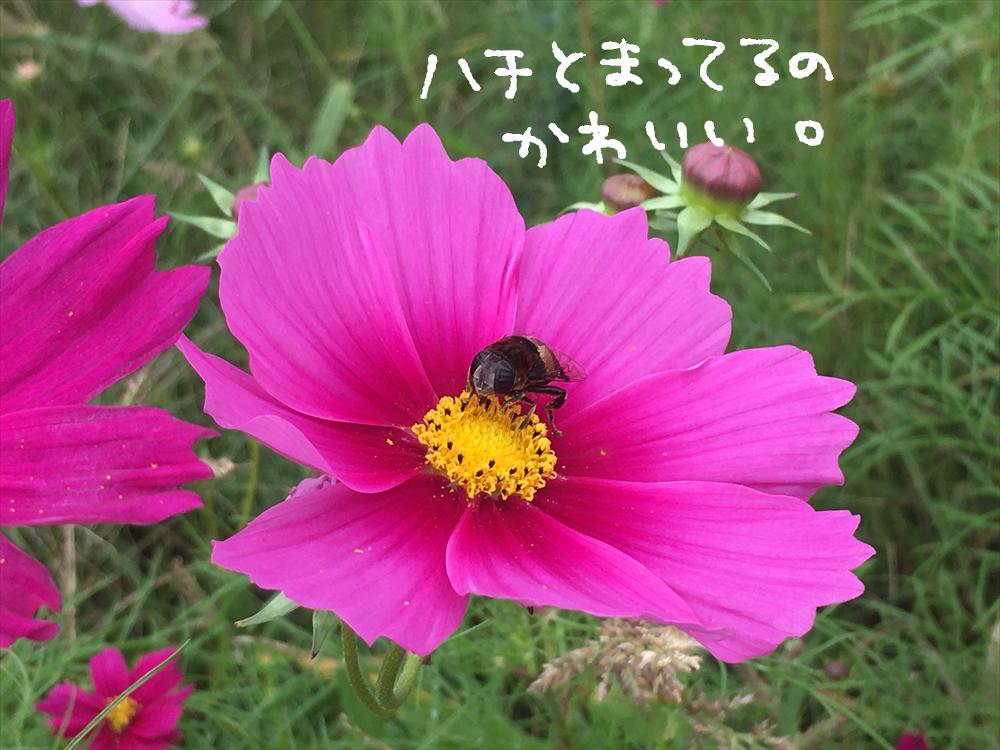 【加古川】ねこレポ 「志方東コスモスまつり」に行ってきた