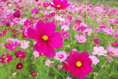 【コスモス】地域の秋桜が見ごろ|エリアのスポットまとめ