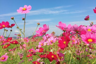 【加古川】志方東コスモスまつり|農産物の直売やイモ掘り体験も!