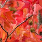 【加西市】モミジ(楓)じゃない!モミジバフウ並木もすこしずつ秋模様