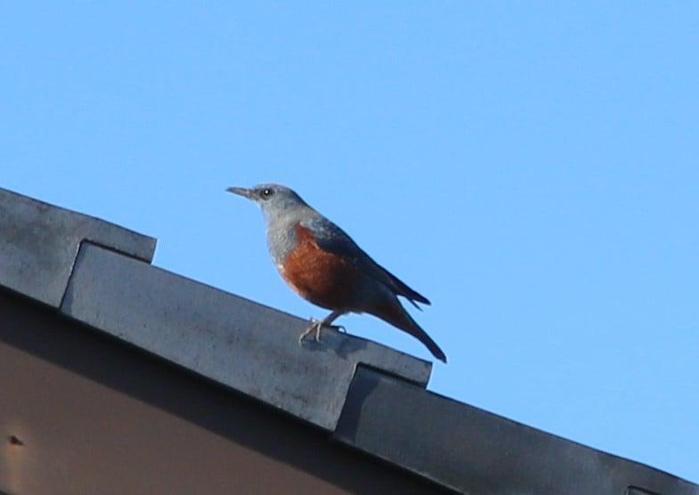 「磯鵯(「イソヒヨドリ」)」?市川町の野鳥シリーズ