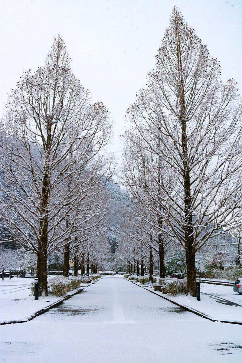 【朝来市】雪化粧のメタセコイヤの並木道|和田山中央公園