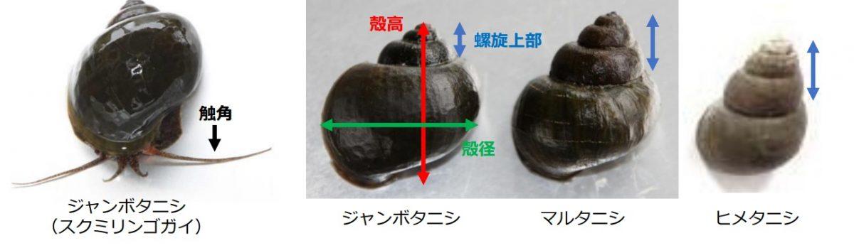 【閲覧注意】野生化した貝が稲を加害|ジャンボタニシ(スクミリンゴガイ)の卵がグロ