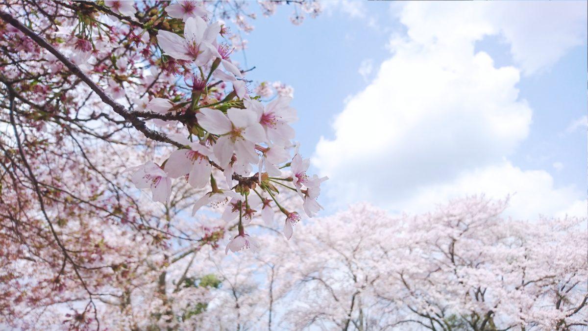 【神崎郡】定番から穴場までオススメ桜スポット30選|神河町・市川町・福崎町 坂戸