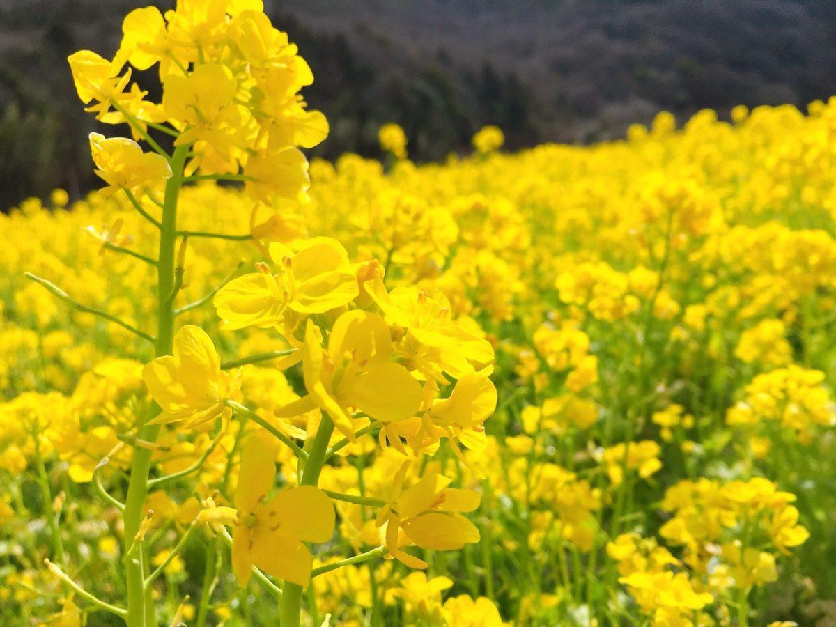 【姫路市】夢前町玉田の「菜の花畑」が見ごろ