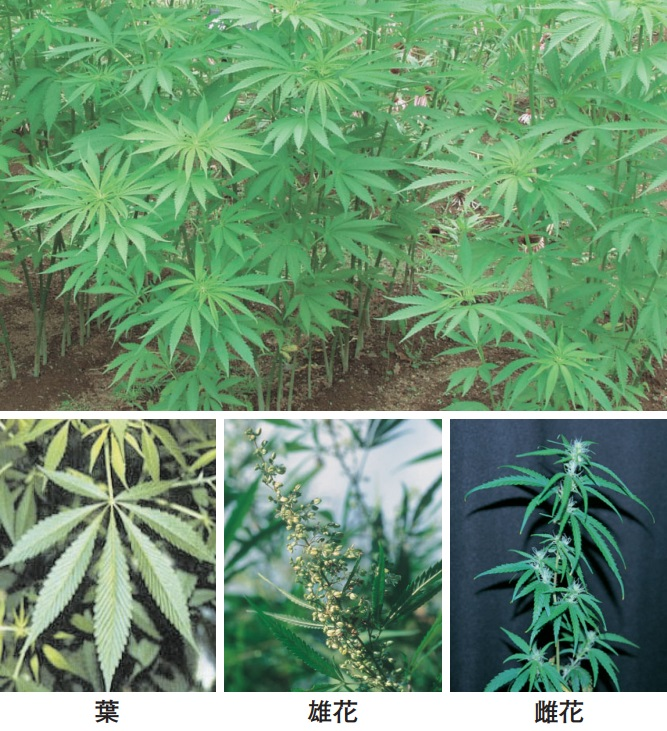 「不正大麻・けし撲滅運動」5月1日から2カ月間