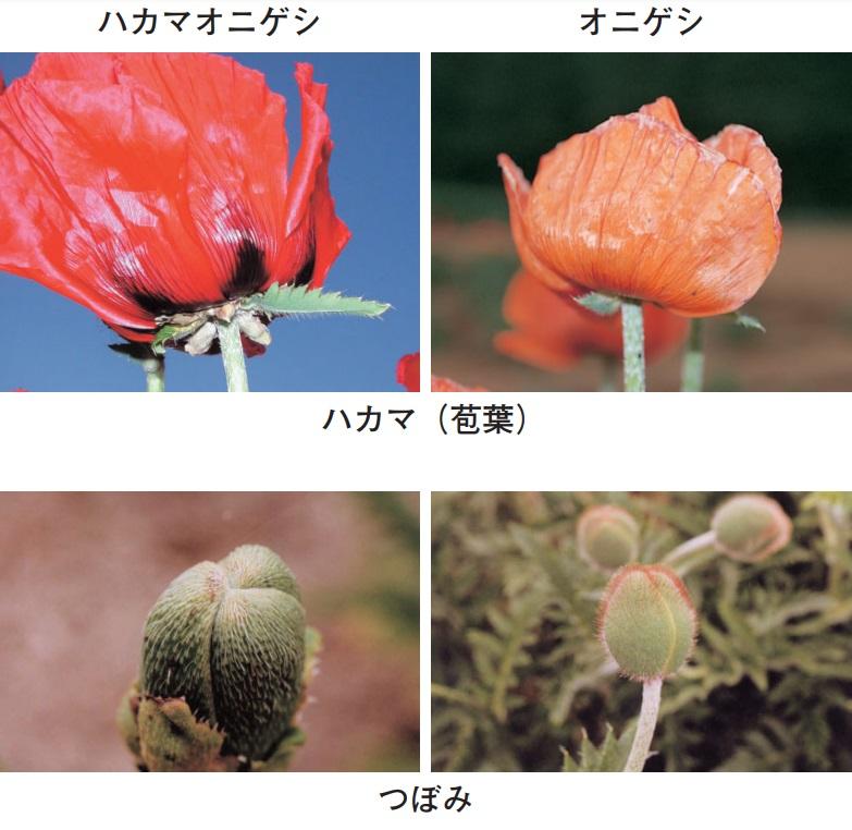 ハカマオニゲシ(ブラクテアツム種)